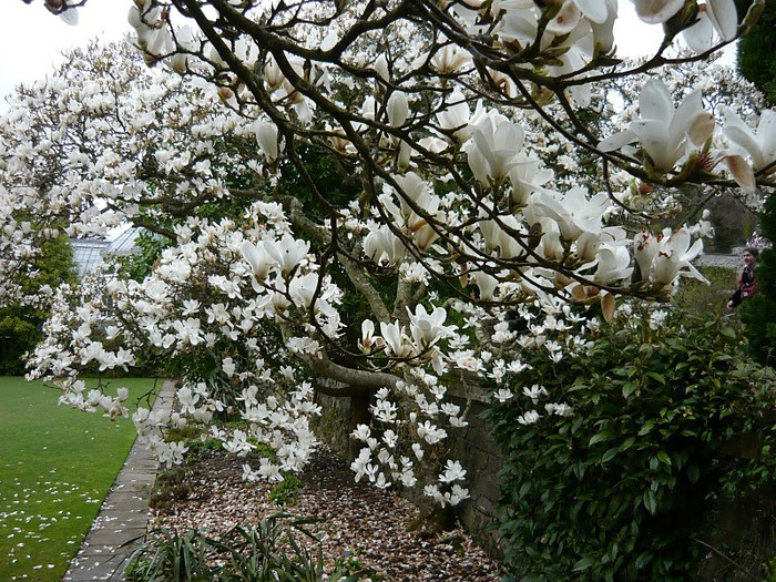 образцовый сад – волшебный Bodnant Garden 11231