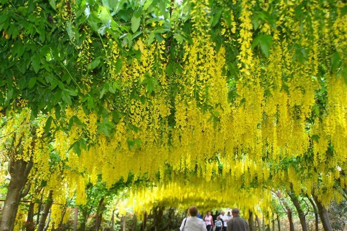 образцовый сад – волшебный Bodnant Garden 92911