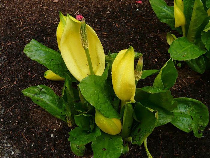 образцовый сад – волшебный Bodnant Garden 59354