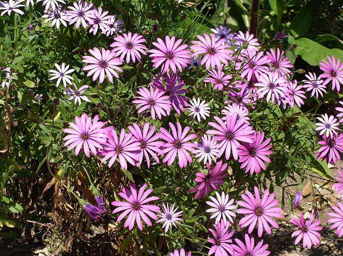 образцовый сад – волшебный Bodnant Garden 95867
