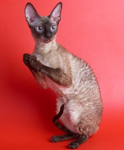 породы кошек фотографиями и названиями: