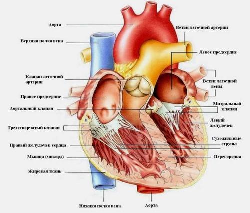...имеет два предсердия, два желудочка и четыре клапана; получает кровь из двух полых вен и четырех легочных вен...
