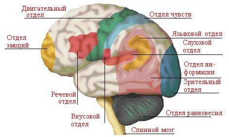 передний мозг состоит из промежуточного и конечного мозга. промежуточный (через этот отдел происходит переключение...
