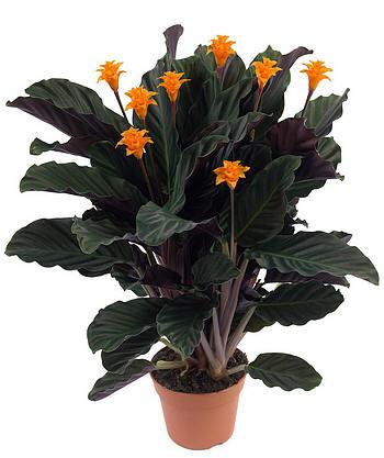 Уход за цветком галатея (калатея) Галатея, или правильнее Калатея, относится к комнатным растениям из семейства...
