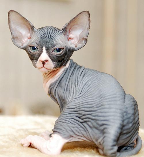 Бесшерстные кошки - сфинксы, откуда они к нам...