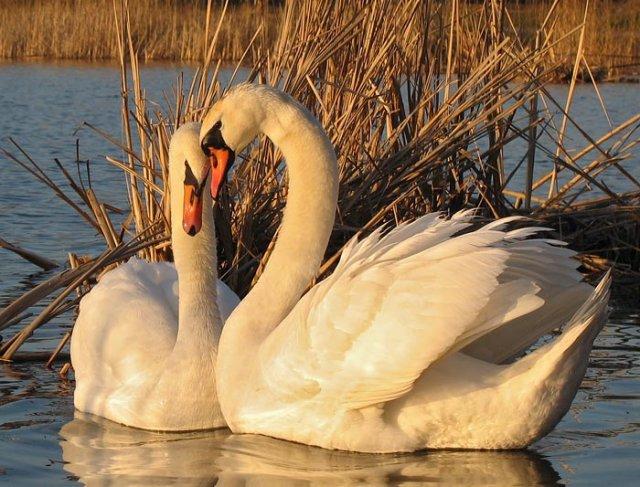 Пара белых лебедей, символ красоты.  Вдруг напомнят мне людей, доброй чистоты.  Тех, в чьей жизни правит лад и кто...