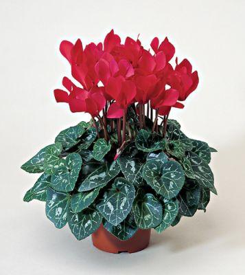 цветы комнатные с большими листьями. цветы комнатные купить доставка.