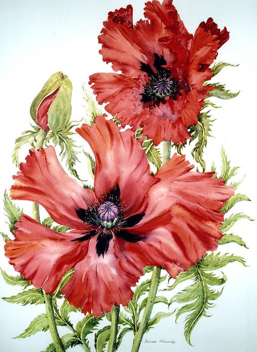 Dark Red Poppies.  Маки и примулы.  Deirdre Hiscocks.