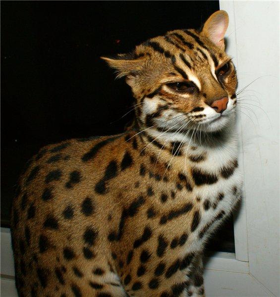 Достойная зарплата; кошка с леопардовым окрасом порода цена Новогоднюю