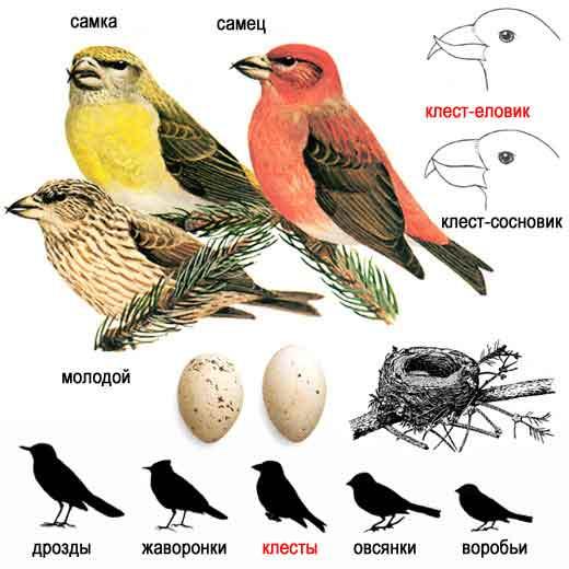 Птицы немного крупнее воробья, с перекрещивающимся клювом