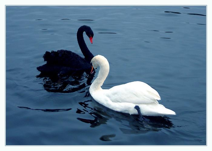 Лебедь чёрный, лебедь белый Пролетают мимо окон, Миг за мигом, час за часом, Заплетая время в кокон.