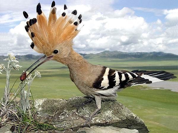 Внешний вид Удод - птица Старого Света.