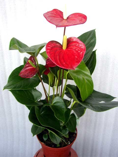 Домашние цветы красные цветы