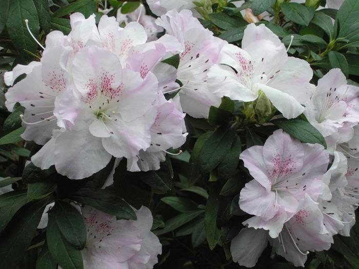 Оказалось, что греческие воины наелись меда с цветков дикого рододендрона желтого - Rhododendron luteum Sweet...