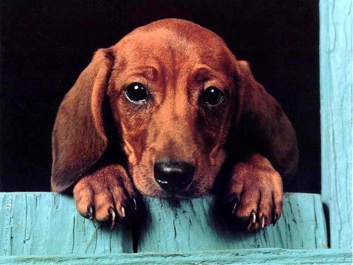 Все о собаках породы такса.  Обои.  Статьи.