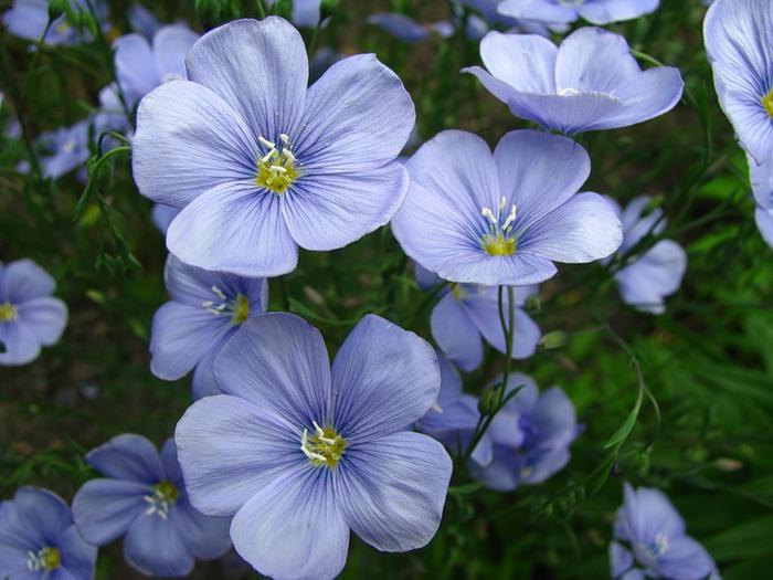 Многолетнее растение с мелкими ...: todownload.ucoz.ru/blog/len_ehto_odnoletnee_travjanistoe_rastenie...