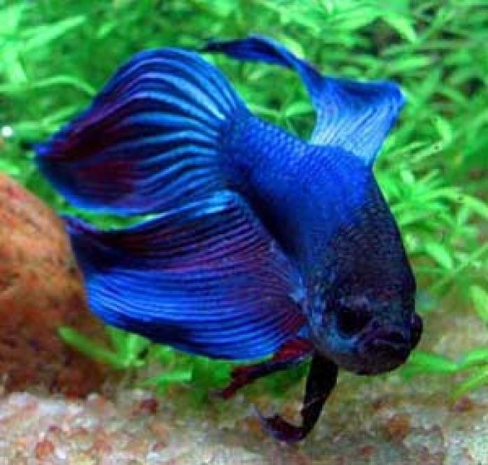 Аквариумная декоративная рыба: Петушок синий вуаль самец (Veil Tail...