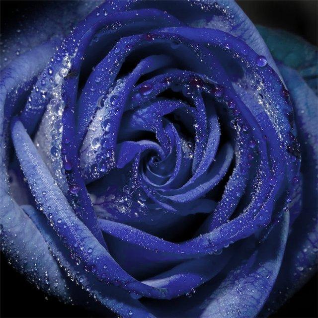 Синие розы.  Mari.