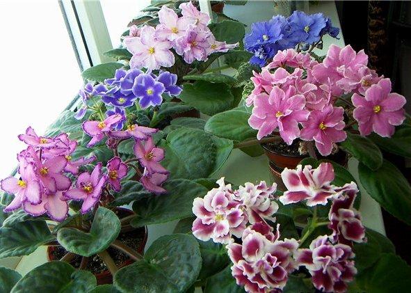фиалки из бисера схема.  Комнатные цветы.