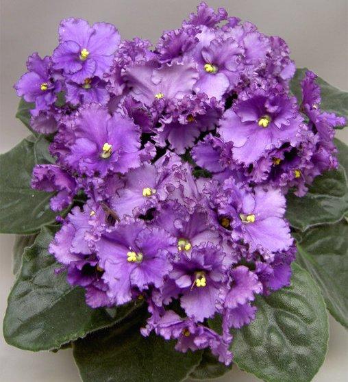 Фиалки 2, фиалка, фиалки, цветок, цветы.