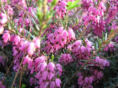 Цветок эрика и описание