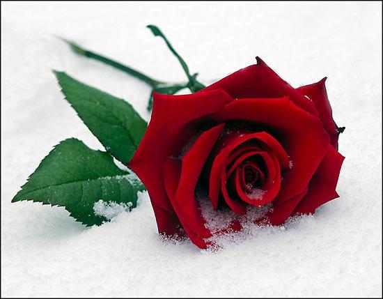 Роза 56