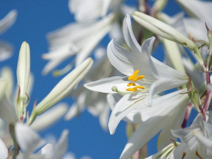 Картинки цветы лилии скачать 4