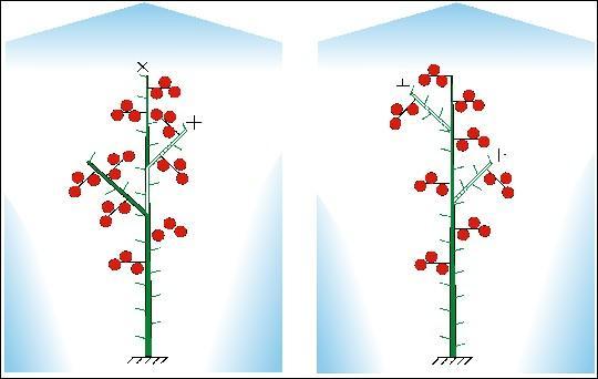 Формирование детерминантного томата в необогреваемых теплицах и укрытиях: Схема 1 - с постоянным переводом точки...