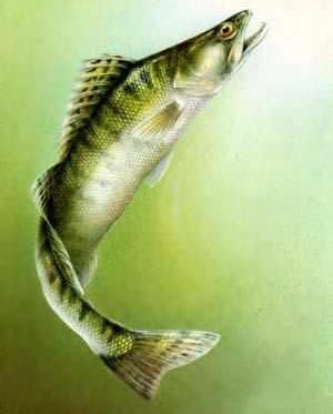 Куплю рыбу с/м судак, щука, сазан.