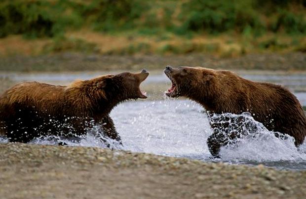 Поднимают только половину своего веса, около 550 кг.  10. Медведи гризли.