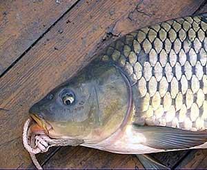 новые монтажи для ловли толстолоба с поплавком