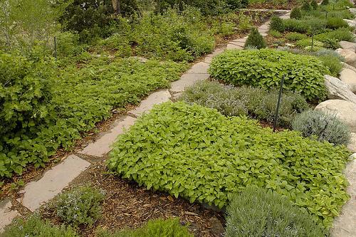 В Средневековье ароматные растения и травы выращивали в монастырских...