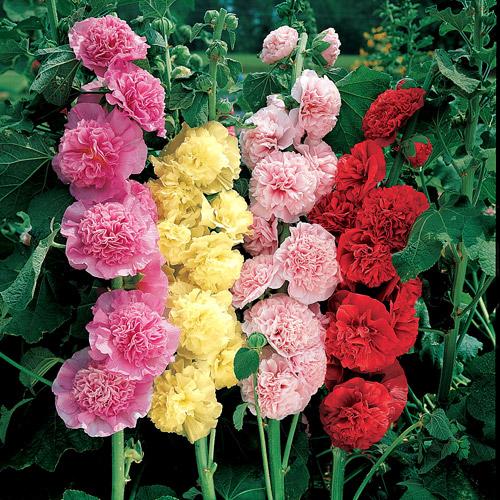 Цветок шток роза выращивание из семян 36