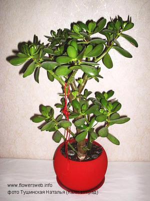 Толстянка (Crassula) относится к роду Суккулентов (Succulentus) семейства Толстянковые.