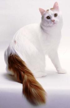 Принято считать, что на родине турецкие кошки обитали в изолированном...
