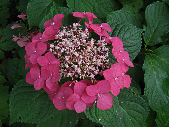 Цветок гортензия картинки 3