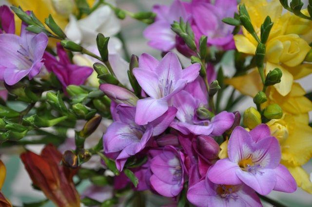 цветок фрезия садовая фото