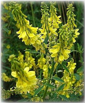 Одно или двулетние пахучие травы с прямыми стеблями, непарноперистыми...