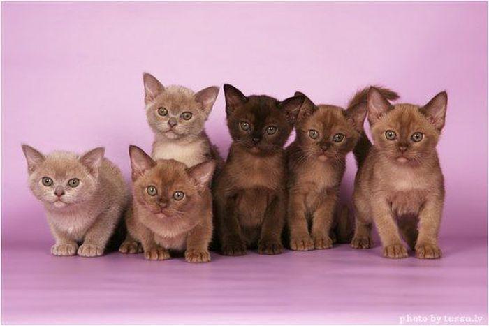 The Cat Collection №21 Бурманская кошка Фото