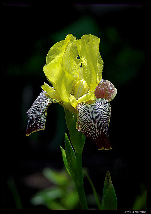 Photo Iris by Sergey Militsky.