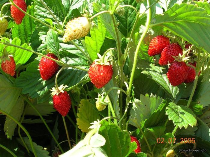 Не, клубника и земляника это разные ягоды Земляника.