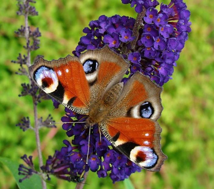 Будлея и бабочки обсуждение на liveinternet