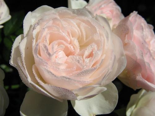 чайная роза из бисера - Сайт о бисере.