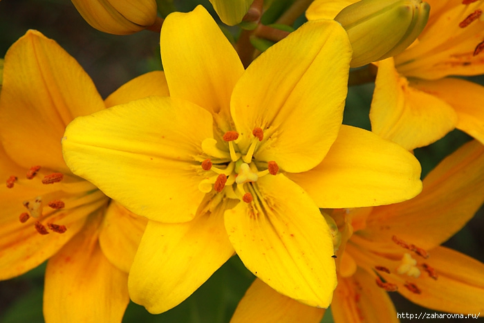 фото желтая лилия