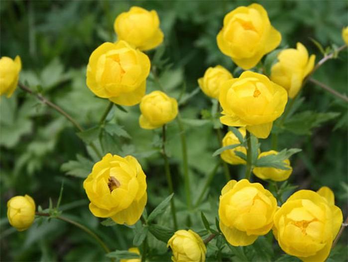 Купальница европейская.  Высота до 70 см; цветки до 5 см в диаметре, одиночные или парные, бледно-желтые с оранжевым...