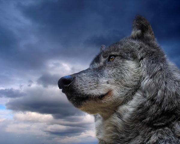 Uij nikni vilki гр железный волк — злые волки