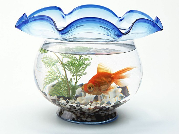 Royalty-Free Stock Photo Golden Fish.