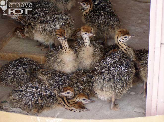 Главная роль в инкубации яиц у страусов принадлежит самцу.  Он насиживает яйца большую часть суток, включая ночь, и...