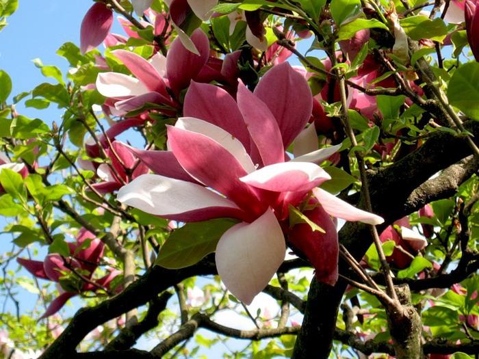 Когда магнолии цветут, Сердца влюбленных воспылают.  Огнем любви, надежды и всегда.  Их пыл в итоге побеждает.