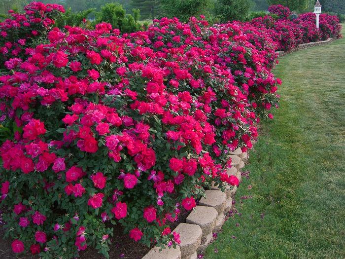 Цветы однолетки для клумбы фото